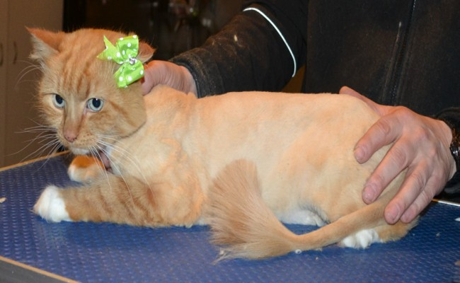 Maggie is a Long Hair Domestic. She had her fur shaved down, nails clipped and ears cleaned.
