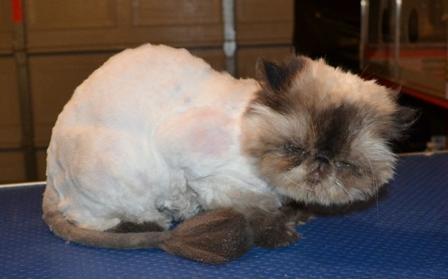 Jinxie is a Himalayan Persian. He had his matted fur shaved down, nails clipped, ears n eyes cleaned and a wash n blow dry.