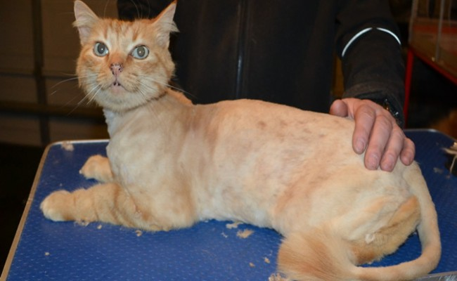 Hector is a Medium Hair Domestic. He had his fur shaved down, nails clipped and ears cleaned.