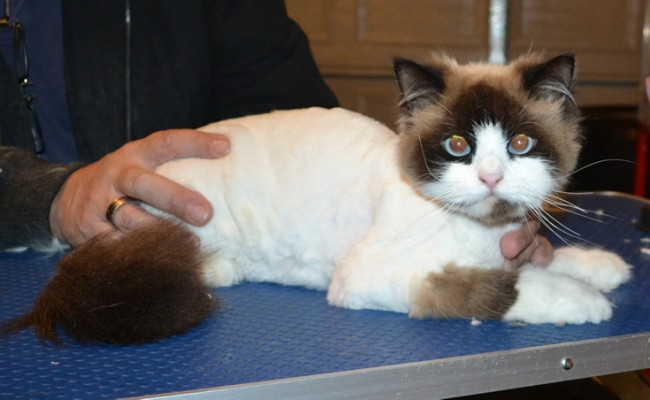 Milo is a Ragdoll. He had his matted fur shaved down, nails clipped and ears cleaned.