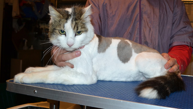 Ashka is a Long Hair Domestic. He had his fur shaved down, nails clipped and ears cleaned.