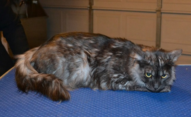 Ivy is a Siberian x Domestic. She had her fur shaved down, nails clipped and ears cleaned.