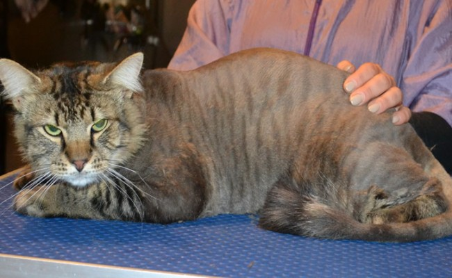 Frankie is a Siberian x Domestic. He had his fur shaved down, nails clipped and ears cleaned.