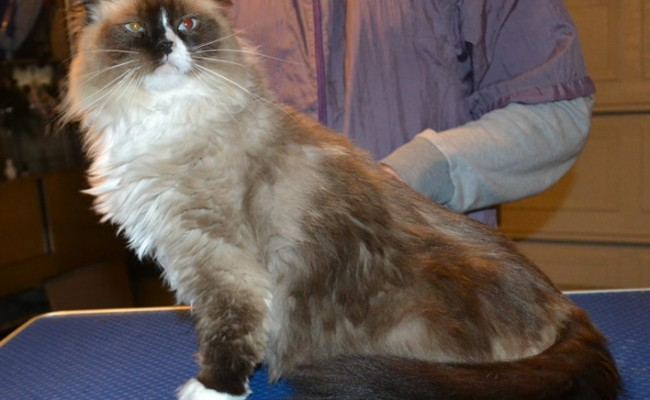 Nya is a Ragdoll. She had her fur shaved down, nails clipped and ears cleaned.