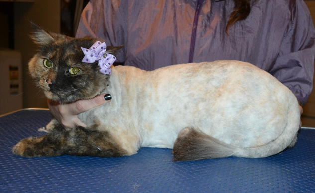 Khoda is a Long Hair Domestic. She had her fur shaved down, nails clipped and ears cleaned.