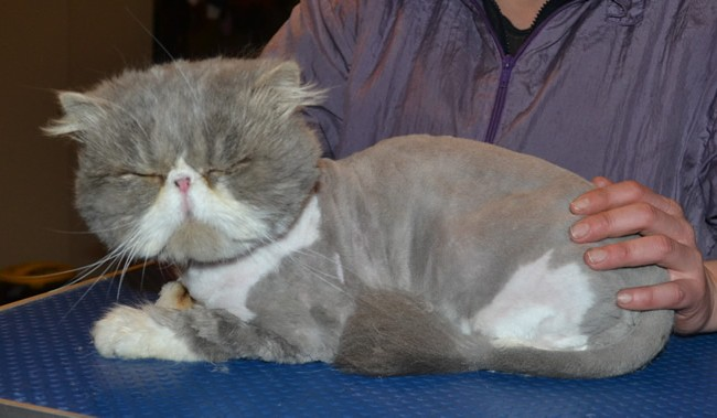 Moe is a Persian. He had his matted fur shaved down, nails clipped, a wash n blow dry and ears cleaned.