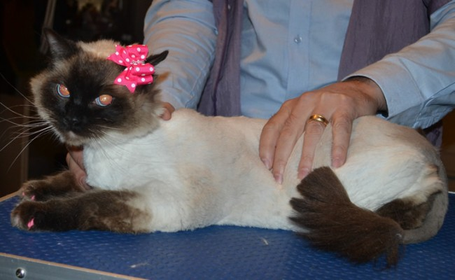 Lottie is a Ragdoll. She had her fur shaved down, nails clipped, ears cleaned and a full set of Pink Softpaw nail caps.