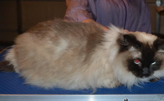 Mika is a Ragdoll. She had her matted fur shaved down, nails clipped and ears cleaned.