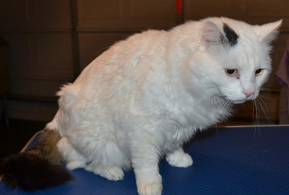 Fluffy is a Medium Hair Domestic. He had his fur shaved down, nails clipped and ears cleaned.
