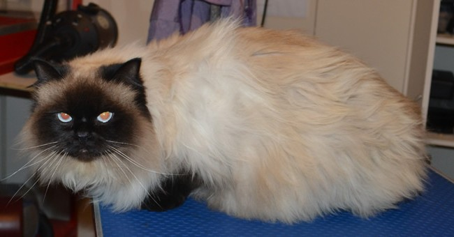 Jinx is a Ragdoll. He had his matted fur shaved down, nails clipped, ears cleaned and a wash n blow dry.