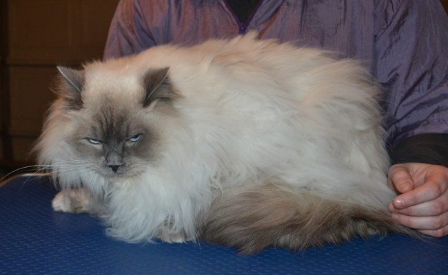 Oscar is a Ragdoll. He had his matted fur shaved down, nails clipped, ears cleaned and bought a Wooly Blue jumper from us.