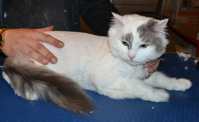 Ollie is a Ragdoll x. He had his matted fur shaved down, nails clipped and ears cleaned.