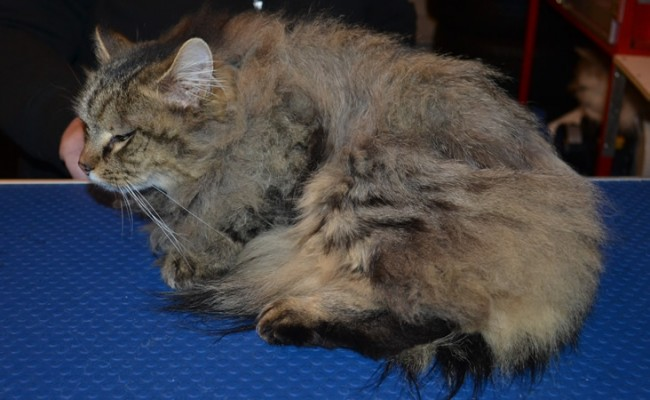 Nala is a Long Hair Domestic. She had her matted fur shaved down, nails clipped and ears cleaned.