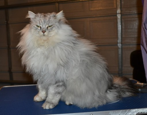 Zeus is a 7kg Chinchilla x Ragdoll. He had his matted fur shaved down, nails clipped and his ears cleaned.