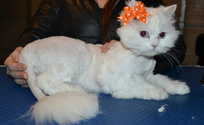 Cleo is a Persian x Ragdoll. She had her matted fur shaved down, nails clipped and ears cleaned.