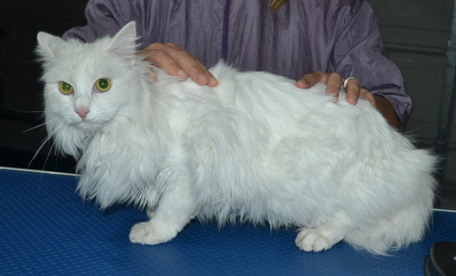Petra is a Long Hair Domestic. She had her mats shaved off, a comb clip, nails clipped, ears cleaned and a wash n blow dry.