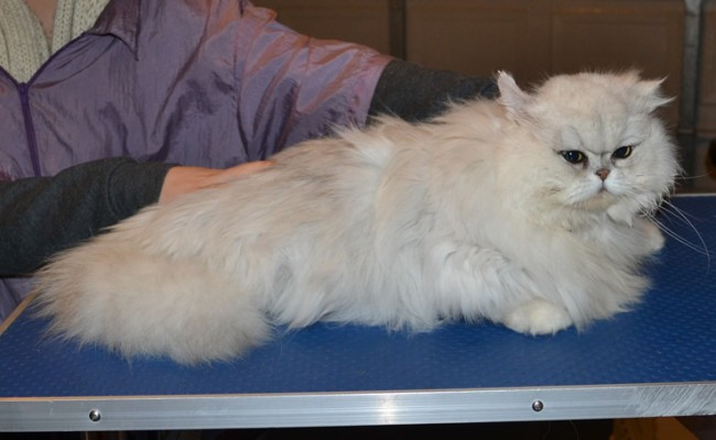 Sofie is a Chinchilla Persian. She had her matted fur shaved down, nails clipped, ears cleaned and a wash n blow dry.