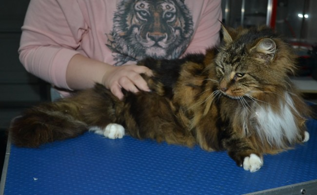 Bourbon is a Norwegian Forest Cat. He had his matted fur shaved down, nails clipped and ears cleaned.