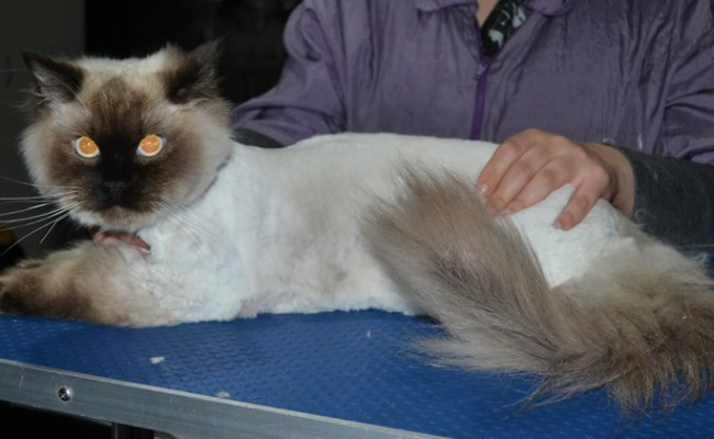 Ocean is a Ragdoll. He had his matted fur shaved down, nails clipped and ears cleaned.