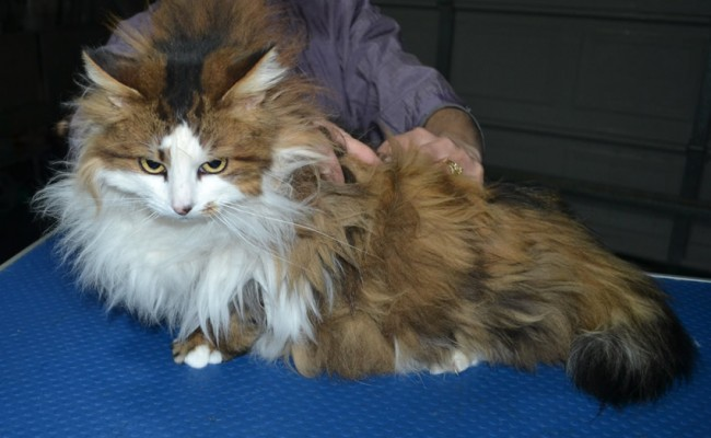 Brown Sugar is a Long Hair Domestic. She had her matted fur shaved down, nails clipped and ears cleaned. .