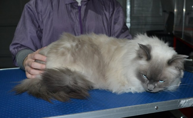 Toby is a Ragdoll. He had his fur shaved down, nails clipped and ears cleaned.