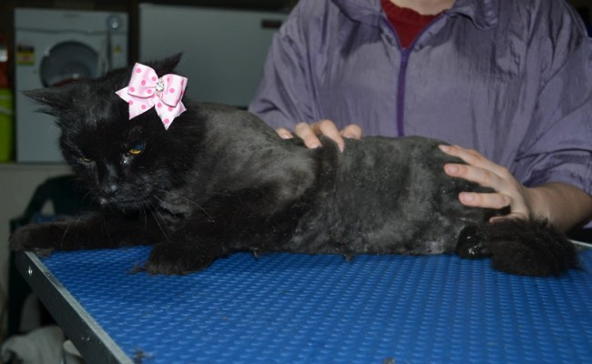 Chichi is a Medium Hair Domestic. She had her matted fur shaved down, nails clipped and ears cleaned.