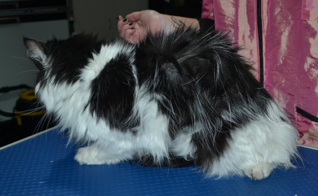 Harry is a Medium Hair Domestic. He had his matted fur shaved down, nails upped and ears cleaned.