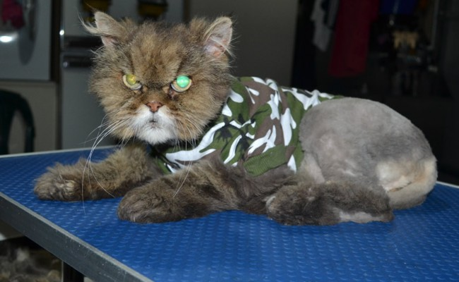 Bootsie is a Persian. He had his matted fur shaved down, nails clipped, ears and eyes cleaned and bought one of our spring tops.