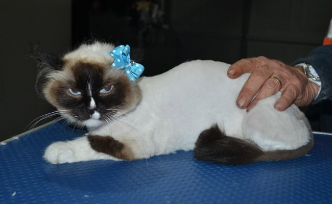 Destiny is a Ragdoll. She had her fur shaved down, nails clipped and ears cleaned.