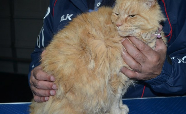 Itchigo is a Medium Hair Domestic. She had her matted fur shaved down, nails clipped and ears cleaned.