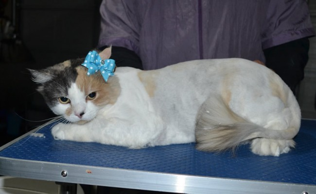 Peaches is a Medium Hair Domestic. She had her fur shaved down, nails clipped and ears cleaned.
