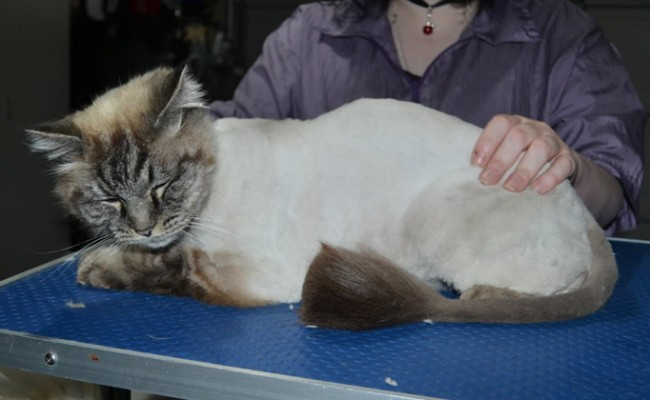 Max is a Ragdoll. He had his fur shaved down, nails clipped, ears cleaned and a wash n blow dry.
