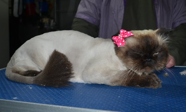 Tasha is a Himalayan. She had her fur shaved down, nails clipped and ears cleaned.