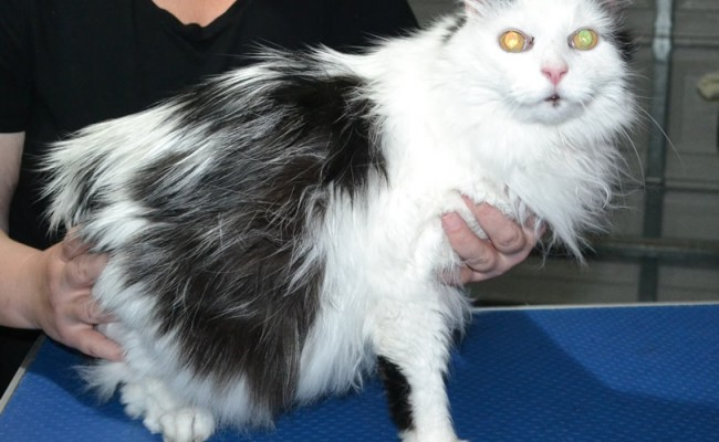 Corin is a Long hair domestic. He had his nails clipped, fur shaved down and ears cleaned.