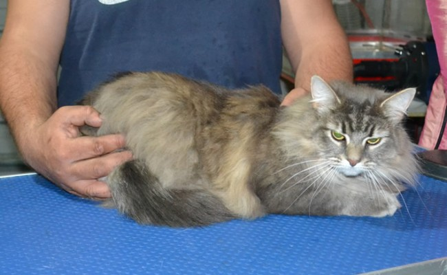 Cleo is a Medium Hair Domestic. She had her fur shaved down, nails clipped and ears cleaned.