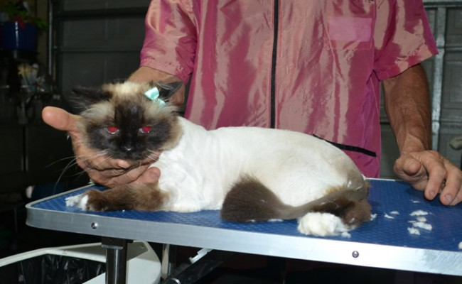 Star is a Birman. She had her fur shaved down, nails clipped, ears cleaned and a wash n blow dry.