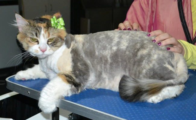 Andie is a Long hair domestic. She had her matted fur shaved down, nails clipped and ears cleaned.