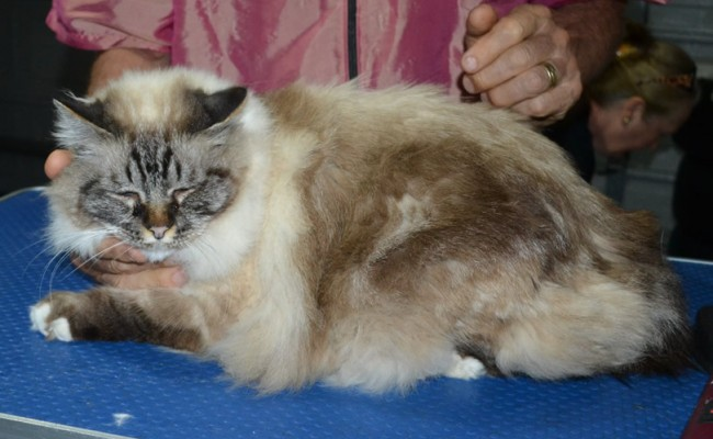 Shiva is a Birman. He had his fur shaved down, nails clipped, ears cleaned and a wash n blow dry.