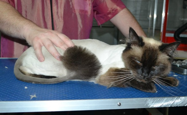 Milkshake is a Ragdoll. He had his fur shaved down, nails clipped, ears cleaned and a wash n blow dry.