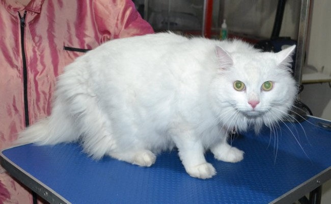 Moche' is a Long hair domestic. He had his matted fur shaved off, nails clipped and ears cleaned.