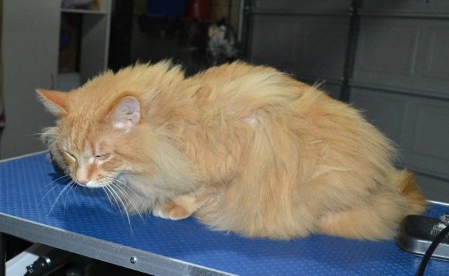 Katut is a Long Hair Domestic. He had his matted fur shaved down, nails clipped and ears cleaned