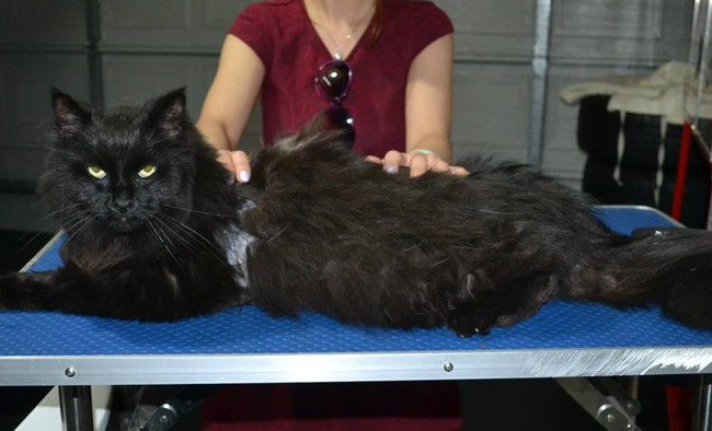 Chichi is a Long hair domestic. She had her matted fur shaved down, nails clipped, ears cleaned and a wash n blow dry.