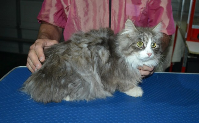 Archie is a Siberian. He had his matted fur shaved down, nails clipped, ears cleaned and a wash n blow dry.