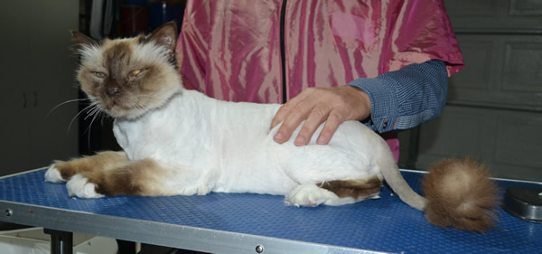 Layton is a Burman. He had his fur shaved down, nails clipped and ears cleaned.