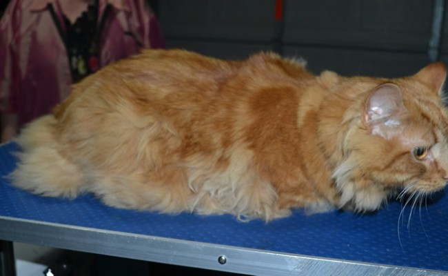 Garfield is a Medium Hair Domestic. He had his fur shaved down, nails clipped, ears cleaned and a wash n blow dry.