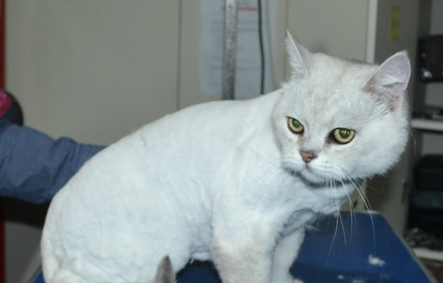 Nathan is a Burmese X Chinchilla. He had his fur shaved down, nails clipped and ears cleaned.