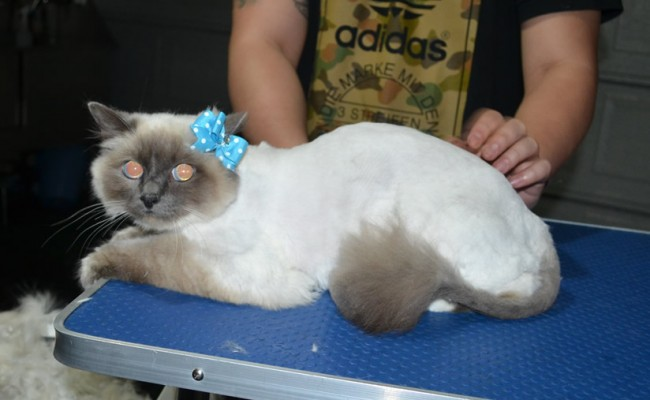 Sobi is a Burman. She had her fur shaved down, Nails clipped and ears cleaned