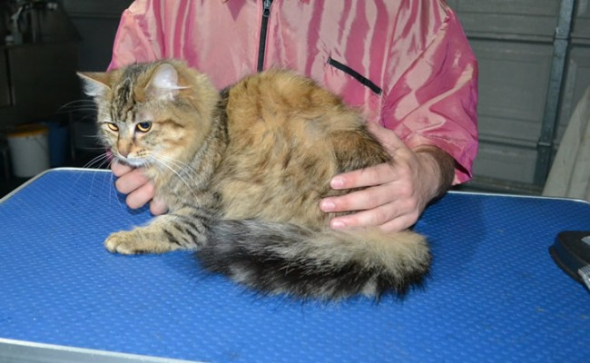 Samaya is a Long hair Domestic. She had her fur shaved down, nails clipped, and ears cleaned.