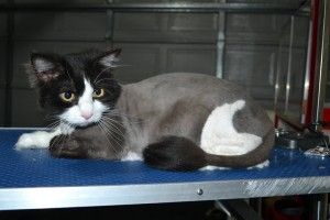 Maxims Prime is a Long Hair domestic. He had his fur shaved down, nails clipped, ears cleaned and a wash n blow dry.