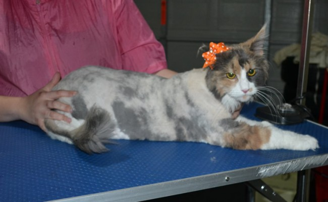 Crystal is a MaineCoon. She had her fur shaved down, nails clipped and ears cleaned.